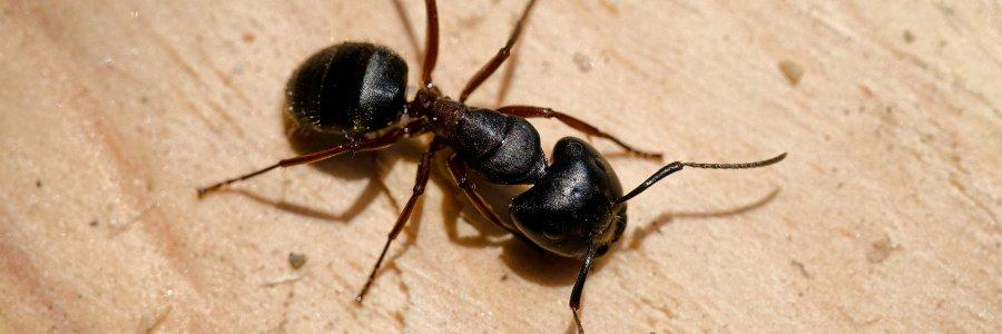 carpenter ant eating wood