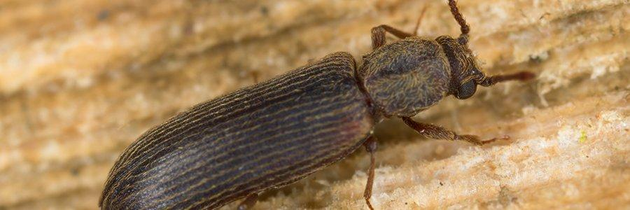 powder post beetle in home