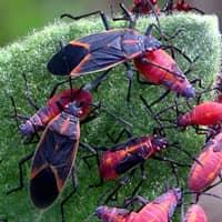 box elder bugs found in springfield
