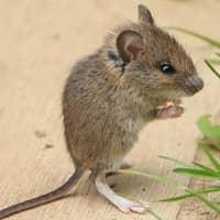identifying common mice