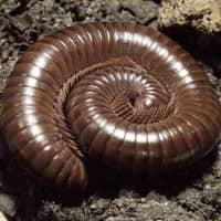 identifying millipedes