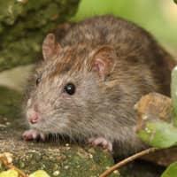 identifying common rats