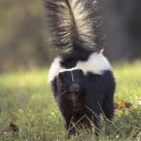 skunk walking in massachusetts