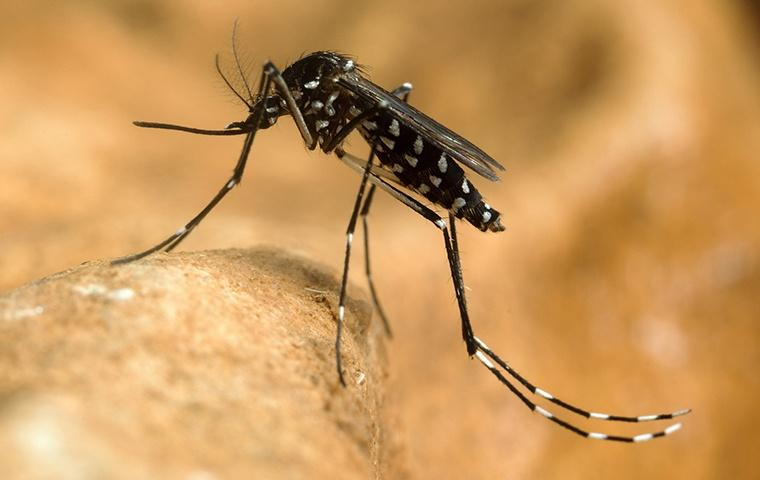 an asian tiger mosquito standing on a dried leaf