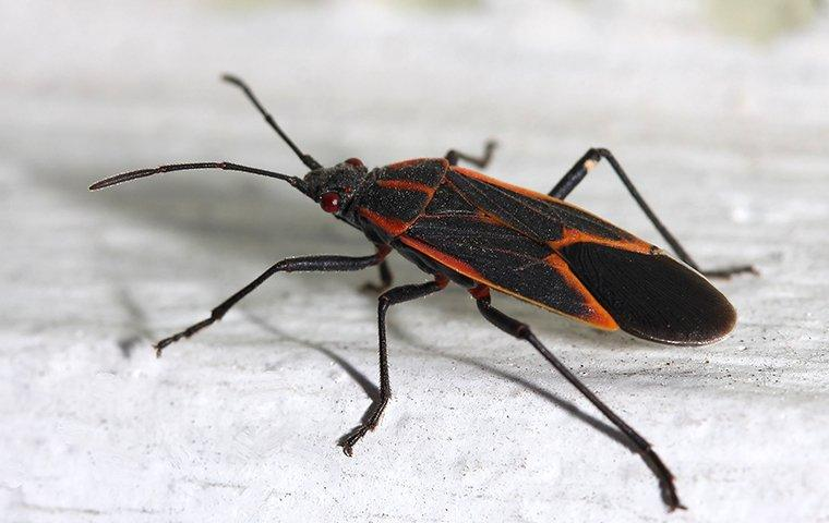up close image of a boxelder bug crawling on a houses trim