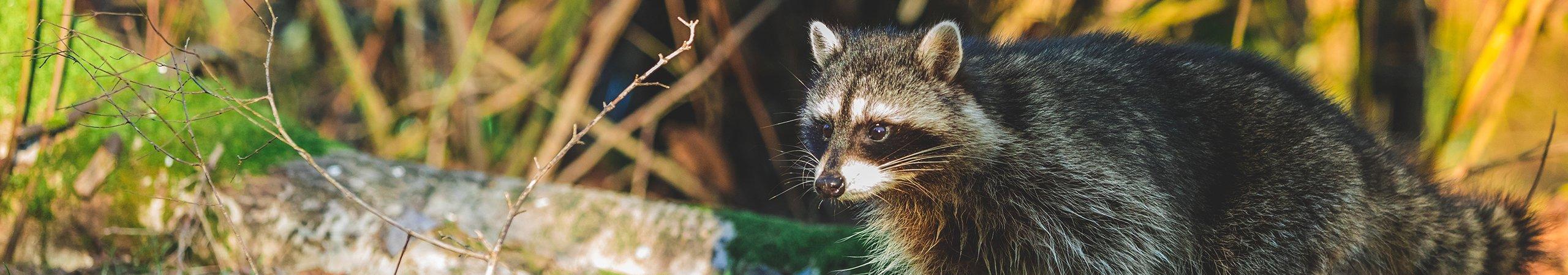 a raccoon up close