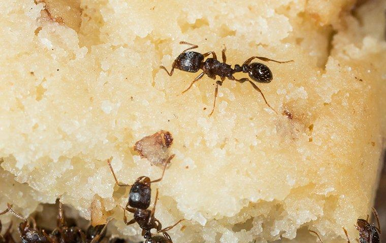 pavement ants eating cake