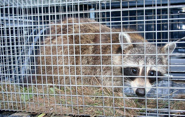 a live trap with a raccoon in it