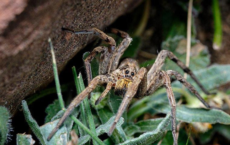 wolf spider in yard outside house