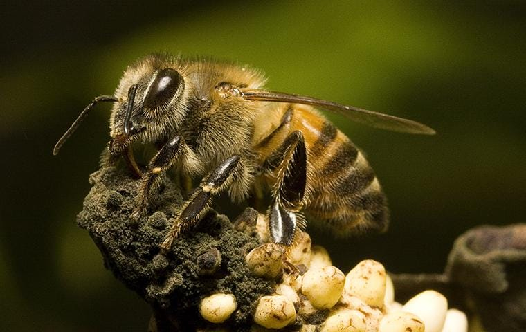 an africanized honey bee on a flower