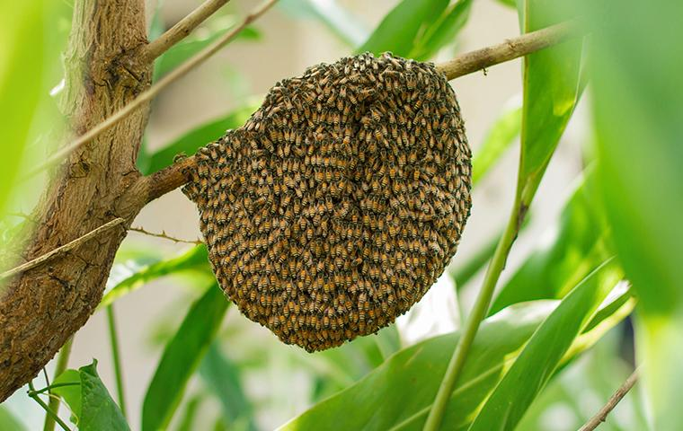 a bee hive covered in africanized honey bees