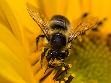 africanized honey bee on a flower collecting nectar