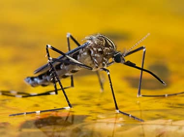 asian tiger mosquito on standing water