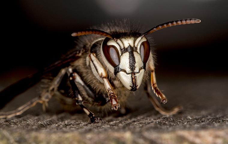 close up of a baldfaced hornet