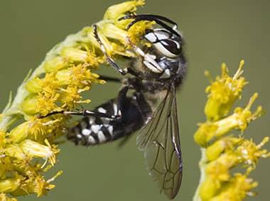 a baldfaced hornet on a flower