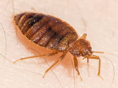 a bed bug crawling on skin