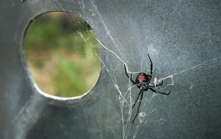 black widow creating spider web
