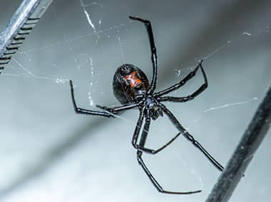 a black widow spider hanging from web