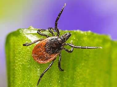 deer tick on a blade of grass