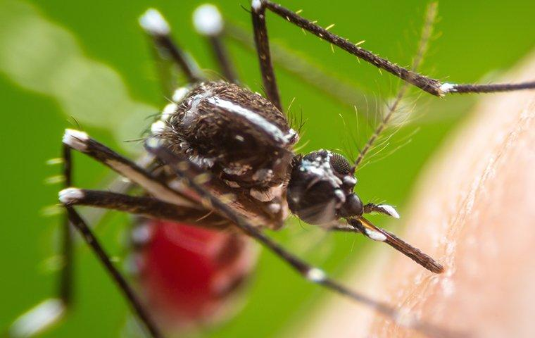 a mosquito biting skin