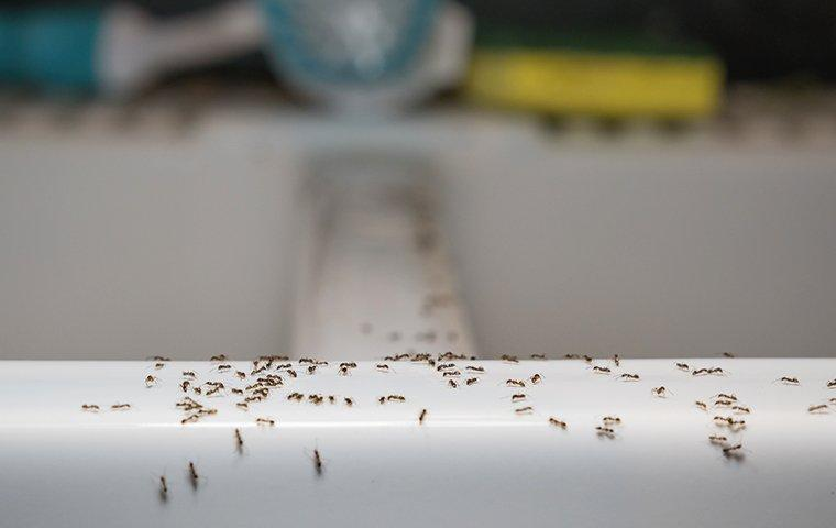 ants crawling on kitchen sink