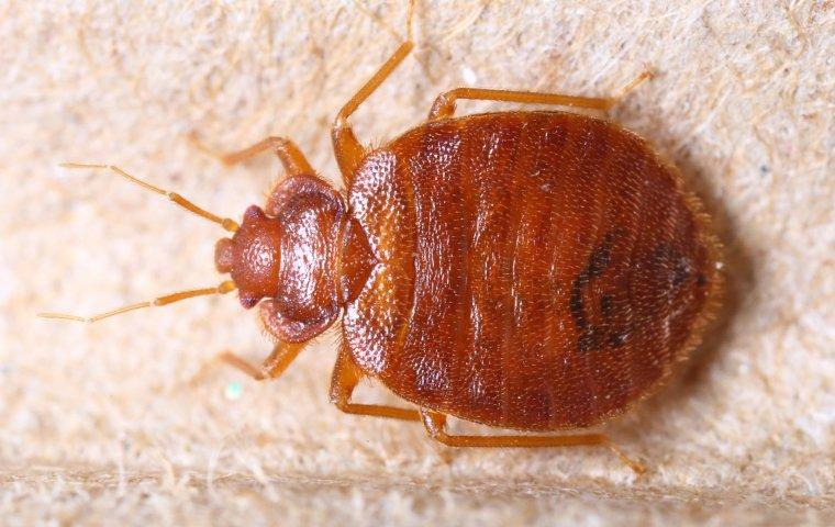 bed bug crawling on bed frame in a home