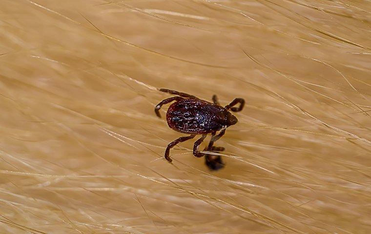 a brown dog tick crawling on fur