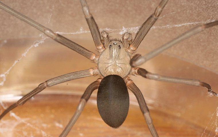 a brown recluse spider in web