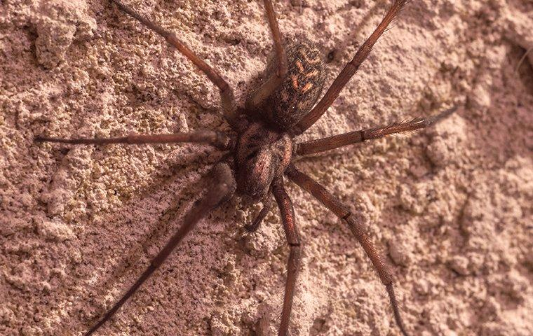 a brown recluse spider crawling on a basement wall