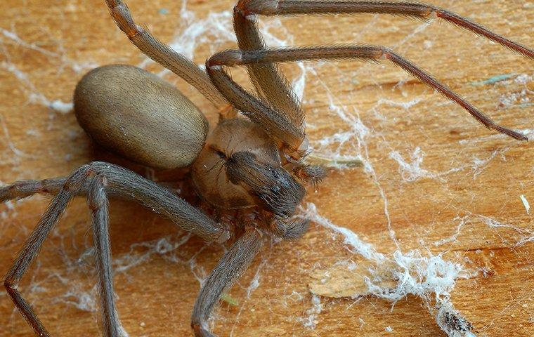 brown recluse spider crawling under a table