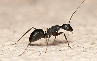 carpenter ant crawling on home floor