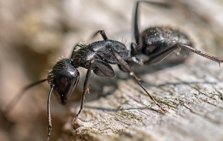a carpenter ant crawling on wood outside a home