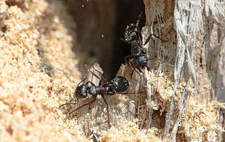 carpenter ants chewing and damaging wood