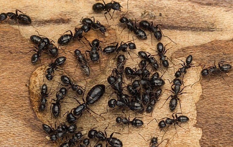 carpenter ants crawling on wood