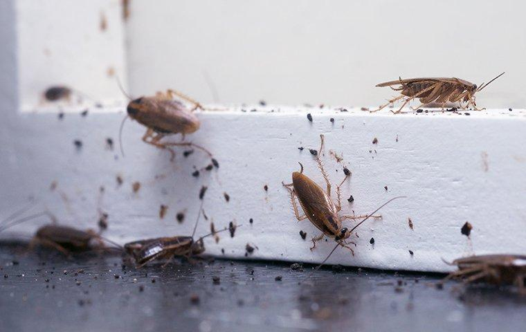 german cockroaches crawling on a window frame in a home