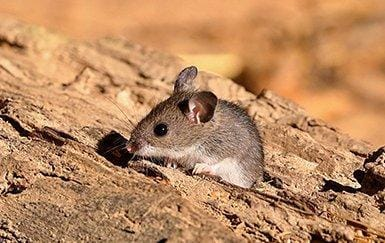 a deer mouse outside of a home