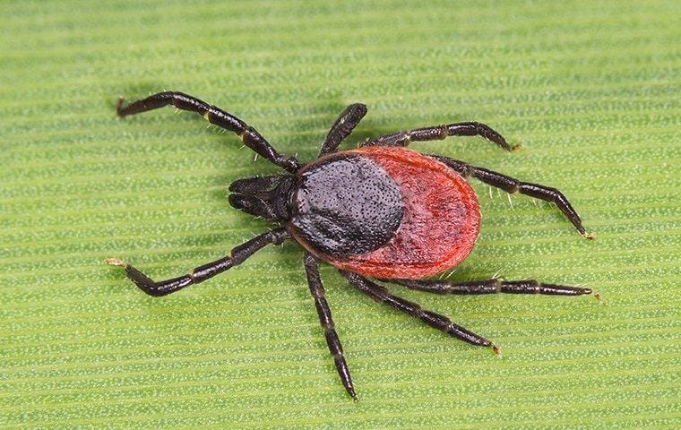 a deer tick crawling on a blade of grass in a lawn
