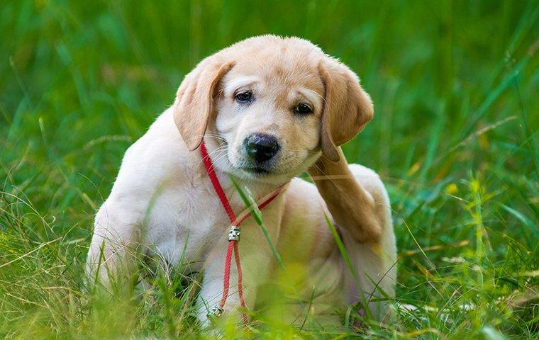 a puppy scratching at fleas on the lawn of a home