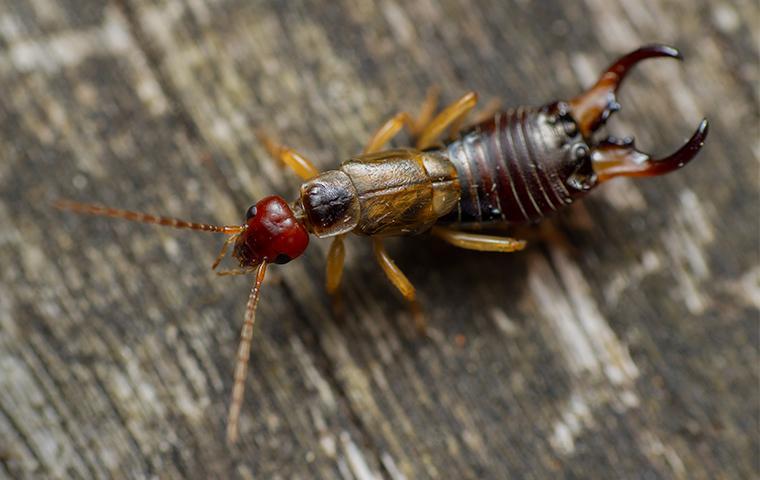 an earwig crawling on wood