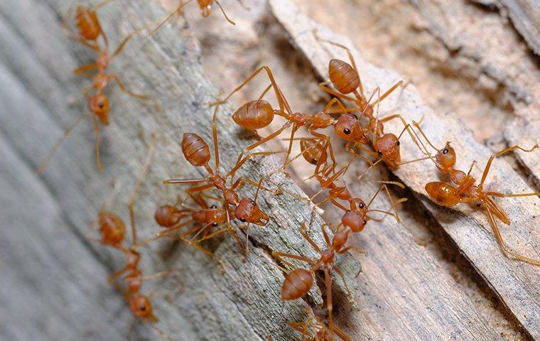 fire ants crawling on wood in the summertime