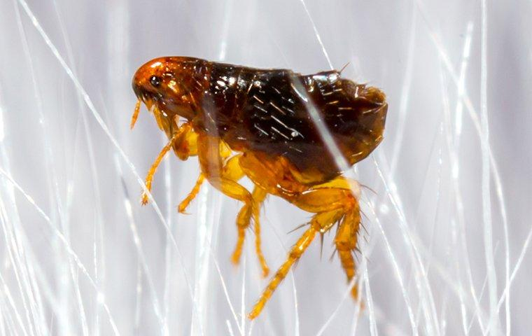 flea crawling in pet hair