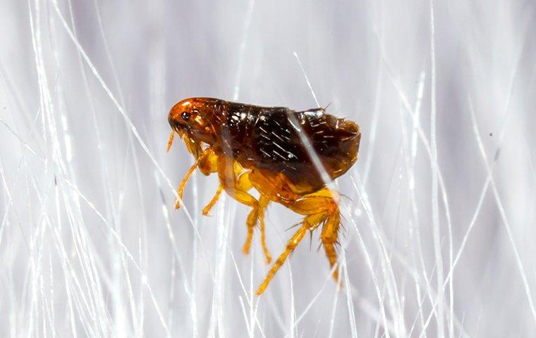 a flea crawling in pet hair