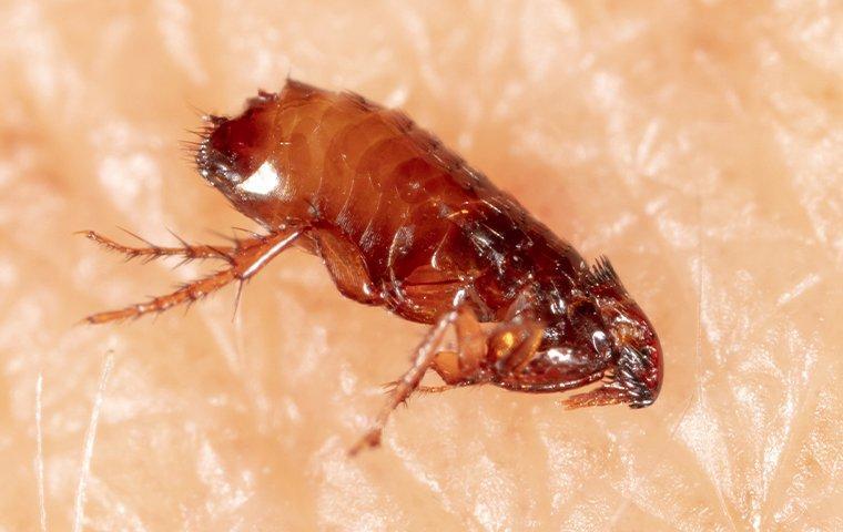 flea crawling on human skin