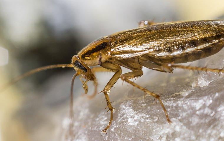 german cockroach on salt