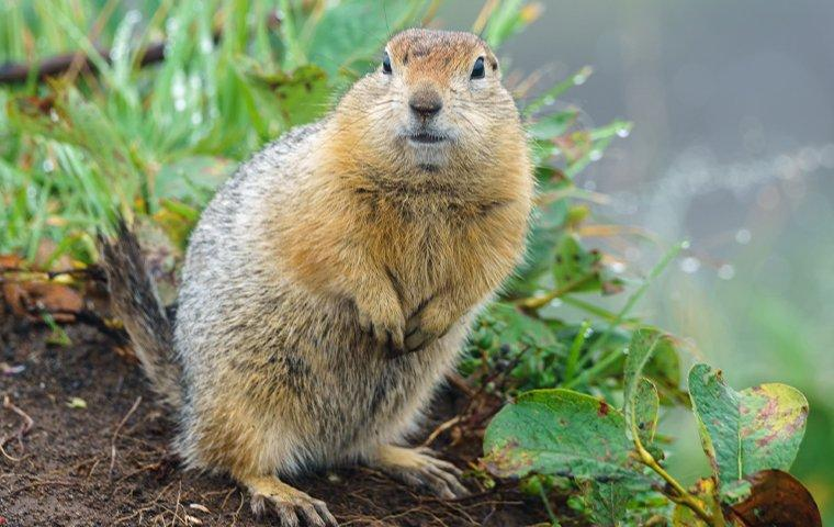 a gopher standing in a yard