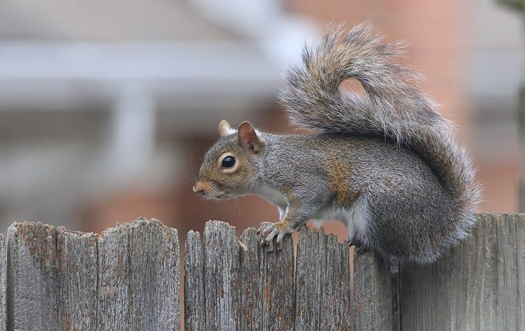 a gray squirrel on a fence