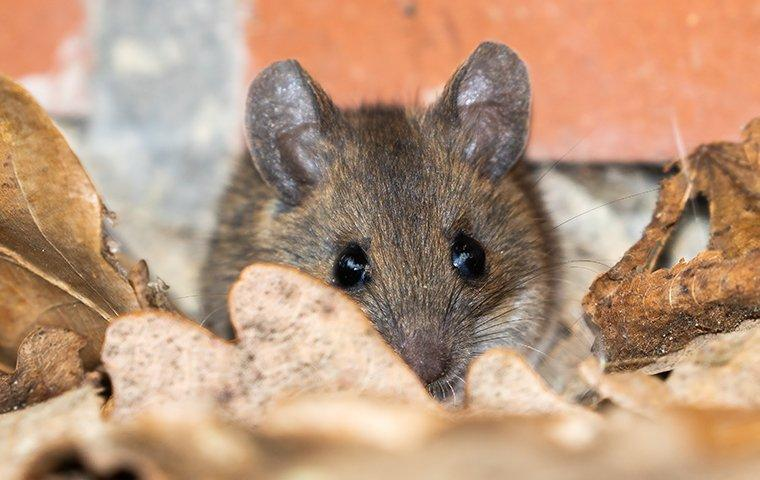 a house mouse crawling in leaves near a home foundation