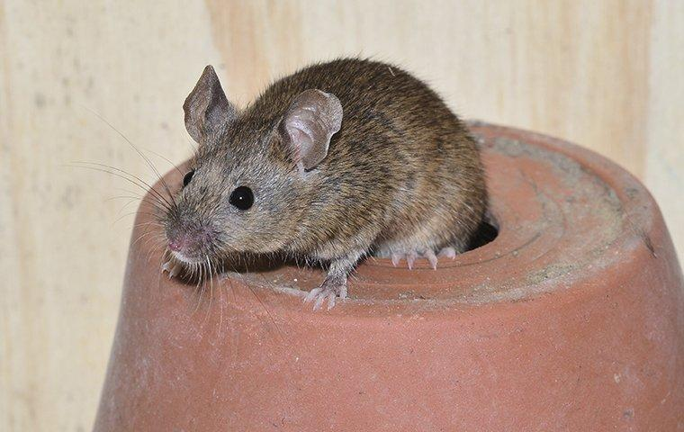 house mouse crawling on gardening pot in shed