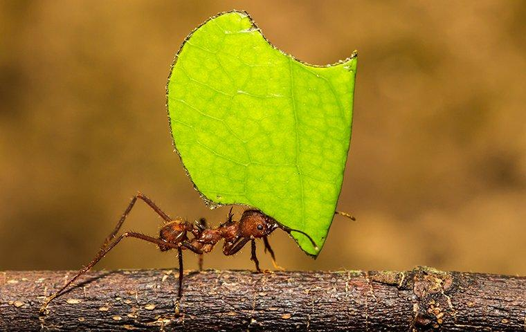 a leafcutter ant bringing food to its colony