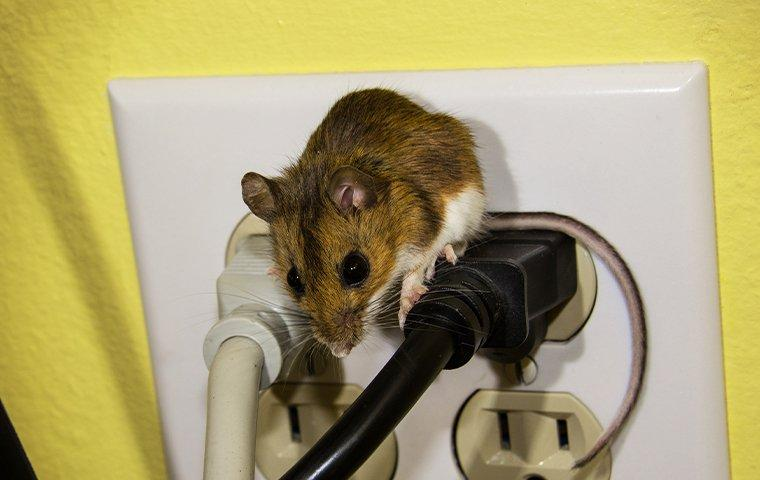 a mouse chewing on wires in an outlet